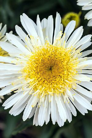 Leucanthemum x maximum Real Glory