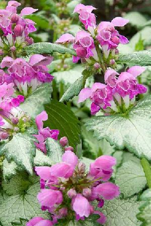 Lamium Collection