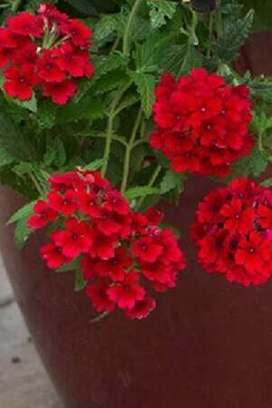 Verbena Showboat Dark Red