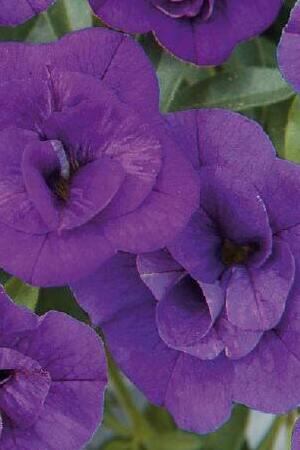 Calibrachoa Double Can Can Blue