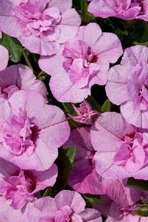 Calibrachoa Double Can Can Light Pink