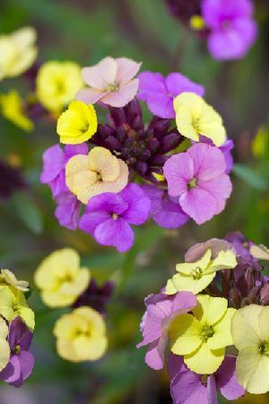 Erysimum Early Sunrise