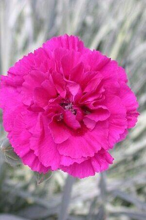 Dianthus AGM Garden Pinks Collection