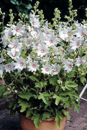 Lavatera x clementii \'Barnsley Baby\'