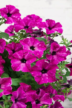 Petunia  Sky Collection