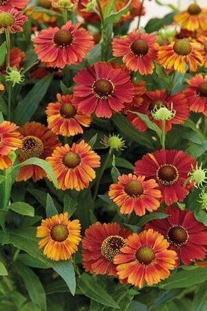 Helenium Strawberry Sundae