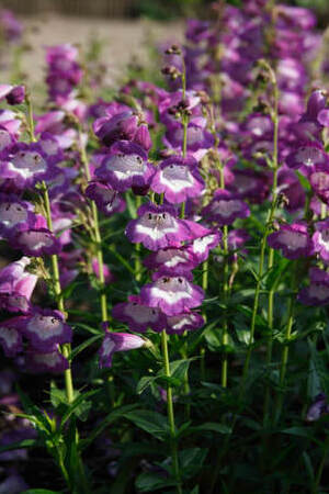 Penstemon Bilberry Ice