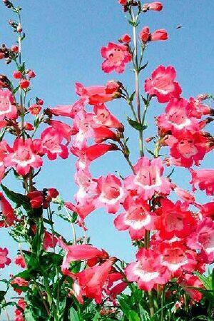 Penstemon Avon Belle