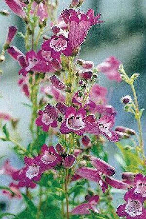 Penstemon Vesuvius