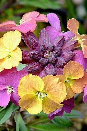 Erysimum Paintbox