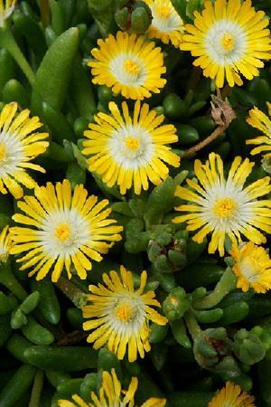 Delosperma Jewel of the Desert Peridot