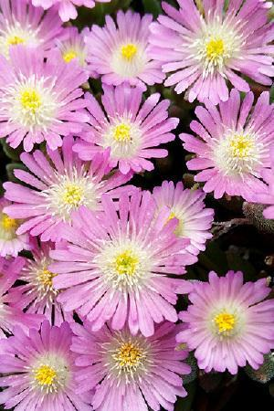 Delosperma Jewel of the Desert Rose Quartz