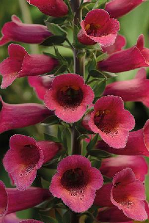 Digitalis Foxlight Plum Gold