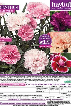 Dianthus Sunnybees Collection