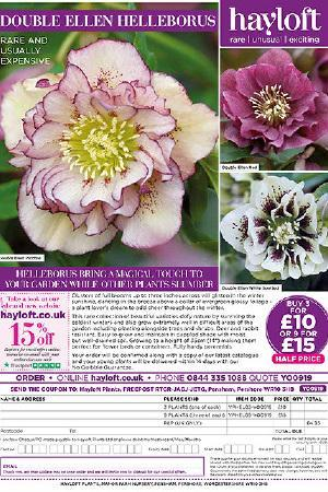 Helleborus Double Ellen Collection