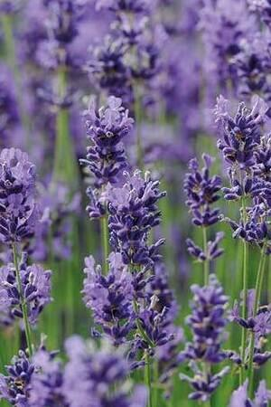 Luscious Lavender Collection