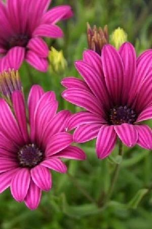 Osteospermum Tresco Purple