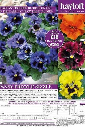Pansy Frizzle Sizzle