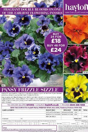 Pansy Frizzle Sizzle Collection