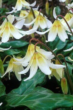 Erythronium Mixed Collection