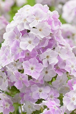 Phlox paniculata Cool Waters