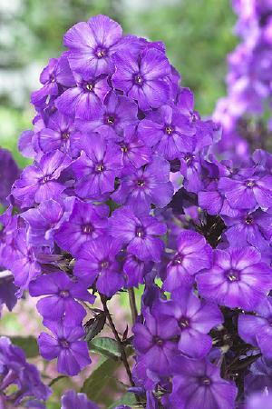 Phlox paniculata Mixed Collection