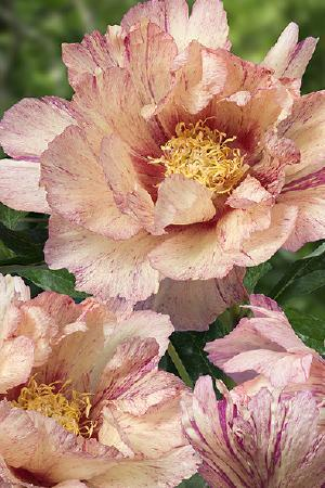 Paeonia Itoh Collection