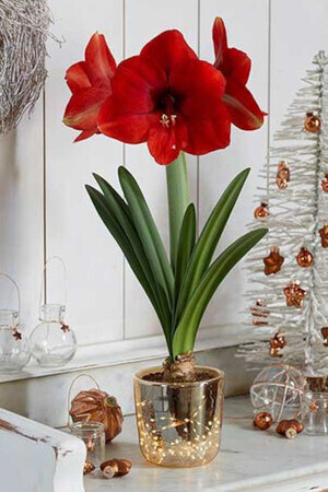 Amaryllis with Illuminated Vase