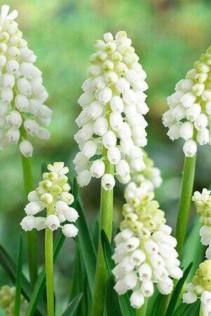 Muscari aucheri 'White Magic'