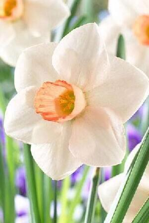 Narcissus Fragrant Rose