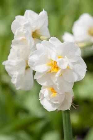 Narcissus Fragrant Collection