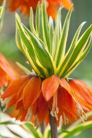 Flirt with Fritillaria Collection