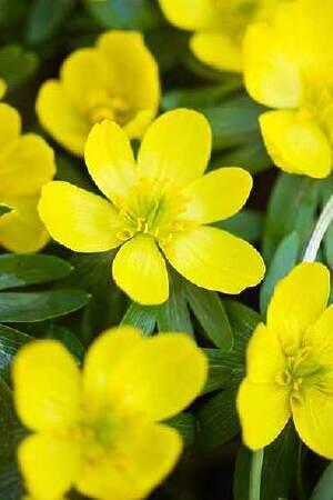 Eranthus Winter Aconite