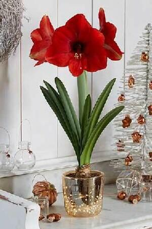 Amaryllis & Gold Illuminated Vase