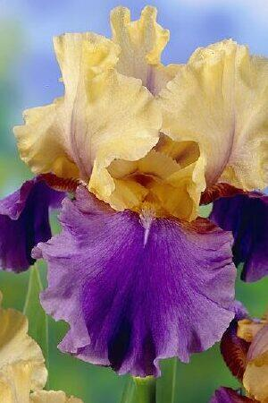 Iris Mixed Collection