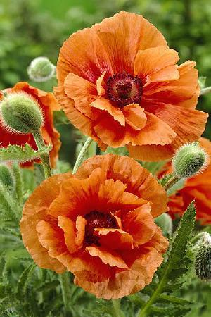 Papaver Harvest Moon