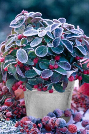 Red Gaultheria Procumbens