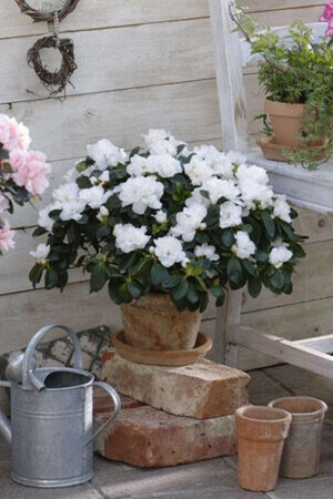 White Azalea in White Tedi Pot