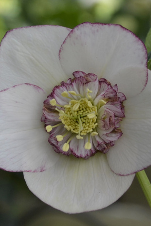 Helleborus Anemone White with Edge