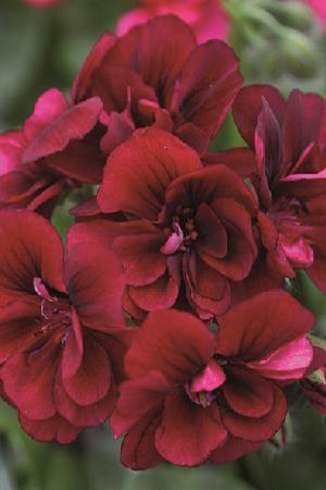 Pelargonium Rosebud Collection