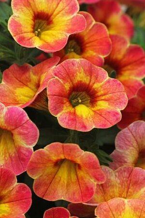 Calibrachoa Chameleon Atomic Orange