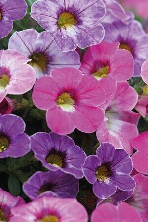Calibrachoa Chameleon Fairy Tale Mix