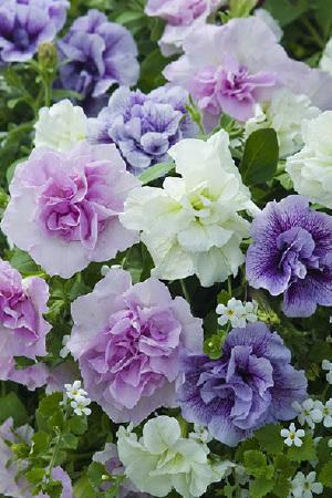Petunia Tumbelina Fragrant Mix
