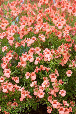Diascia Flying Colours Collection