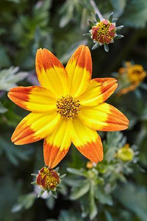 Bidens Taka Tuka Orange and Yellow