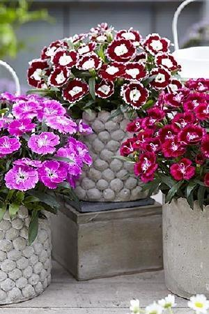 Dianthus Olivia Collection