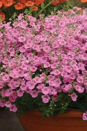 Diascia Breezee Mixed Collection