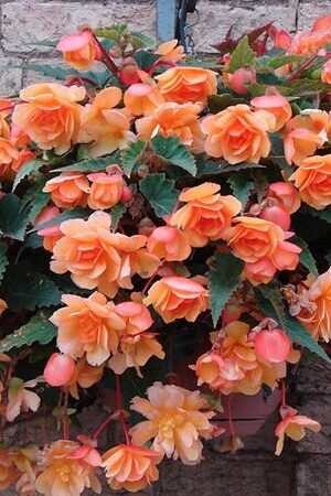Begonia Illumination Collection