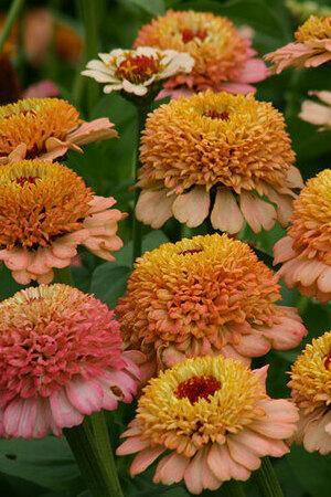 Zinnia elegans Zinderella Collection