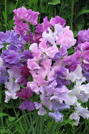 Lathyrus odoratus Twilight Mix